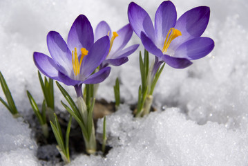 Poster Krokussen crocuses in snow
