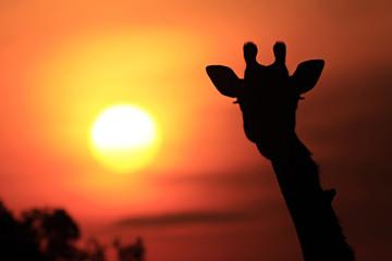 Giraffe Sunset Silhouette on the Masai Mara in Africa