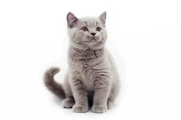 gray kitten white background