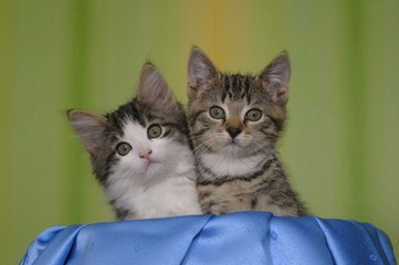Norwegische Waldkatze und Europäische Hauskatze