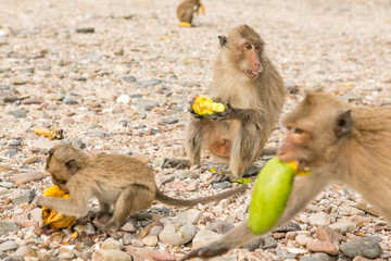 Monkey eats raw mango
