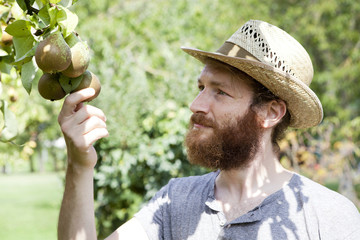 young bearded boy farmer who gathers pears from the tree