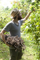 young boy farmer working on vineyard with bundle of branches