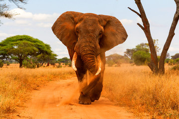Acrylic Prints Elephant dusting and walking