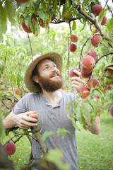 young bearded boy farmer who gathers peaches from tree