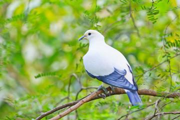 Pied lmperial pigeon