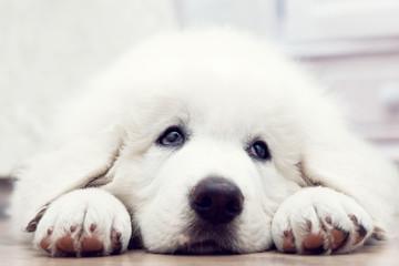 White puppy dog lying on wooden floor. Polish Tatra Sheepdog