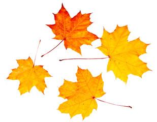 leaves maple