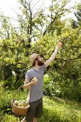 farmer who gathers pears from trees with straw hat and basket