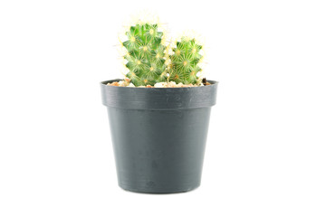cactus in flower pot.
