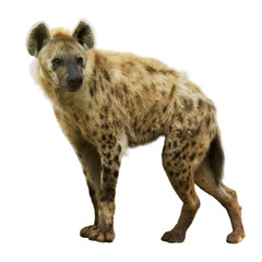 Photo sur Plexiglas Hyène Spotted hyena