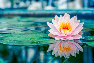 Wall Murals Lotus flower Beautiful Pink Lotus, water plant with reflection in a pond
