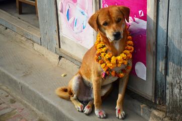 Photo sur Aluminium Népal Kukur Tihar (worship of dog) in Tihar Deepawali festival