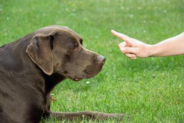 Labrador Bully im Training