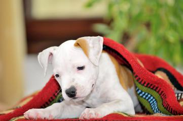 Puppy American Staffordshire Terrier