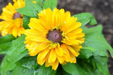 Blumen im Sommerregen - Rudbeckien