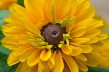 Rudbeckien - Sommerblume gelb braun