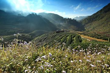 Tea plantation Doi Ang Khang , Chaing Mai Thailand