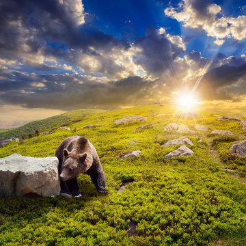 bear among stones on the hillside at sunset