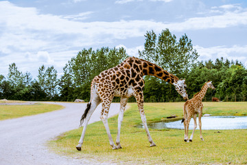 Giraffe and calf walking to the water
