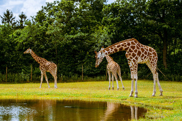 Giraffe family by the water