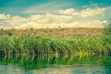 Green rushes by a riverside