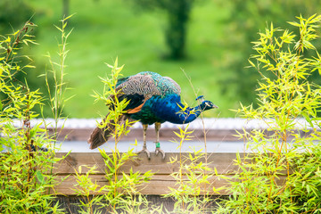 Beautiful peacock standing on wood