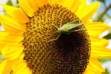 Heuschrecke auf Sonnenblume