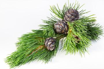 branch cedar nuts