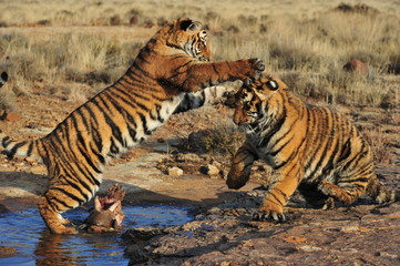 Pair of young tigers play-fighting