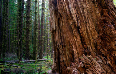 Massive Old Growth Red Cedar Tree Split Apart Wooded Rainforest