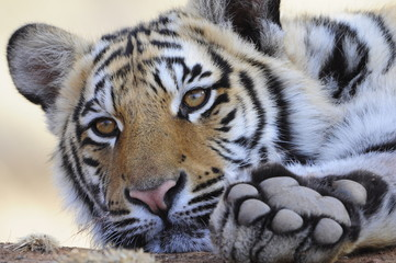 Wall Mural - Closeup Portrait shot of a Bengal Tiger