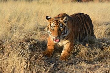 Wall Mural - Portrait shot of a young tiger cub