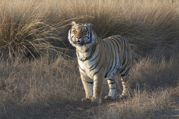 Wall Mural - Bengal Tiger on patrol in its territory