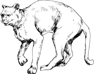 hand drawn cougar (puma)