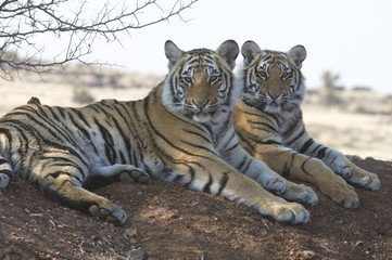 Wall Mural - A pair of young tigers