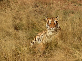 Wall Mural - Portrait shot of a Bengal Tiger in the wild