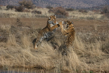 Wall Mural - Bengal Tigers playing