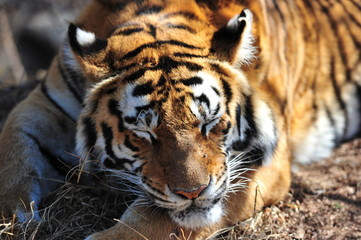 Wall Mural - Closeup Portrait shot of a sleeping Bengal Tiger