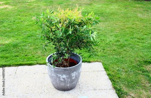 Callistemon rince bouteille plante en pot sur terrasse for Plante rince bouteille