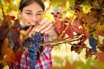 Smiling woman harvesting grapes