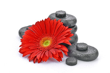 Obraz Gerbera z kamieniami bazaltowymi na białym tle - fototapety do salonu