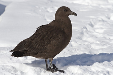 Antarctic skua chick standing on snow near the nesting area