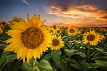 Obraz Beautiful sunset over a sunflower field - fototapety do salonu