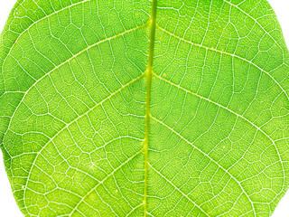 green leaf of walnut tree close up