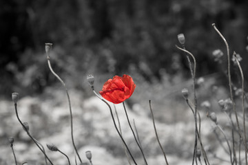 Red poppy on black and white background.