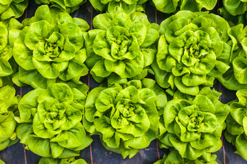 Industrial growth of lettuce in a greenhouse
