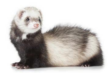 young ferret Wall mural