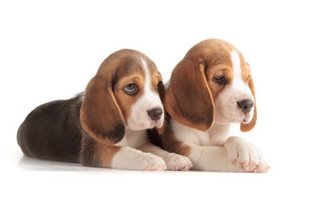 Fotobehang - Cute Beagle Puppy