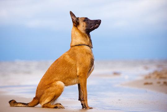 belgian shepherd dog sitting on the beach
